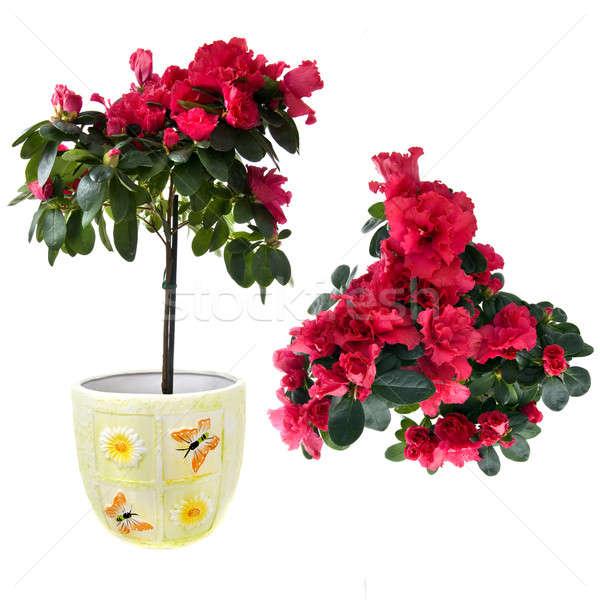 Rojo azalea ramo aislado blanco Pascua Foto stock © artjazz