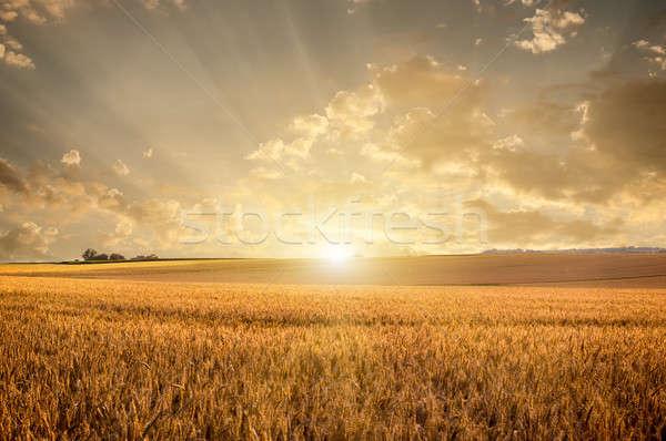 Gouden zonsondergang landschap veld zonnebloem Stockfoto © artjazz