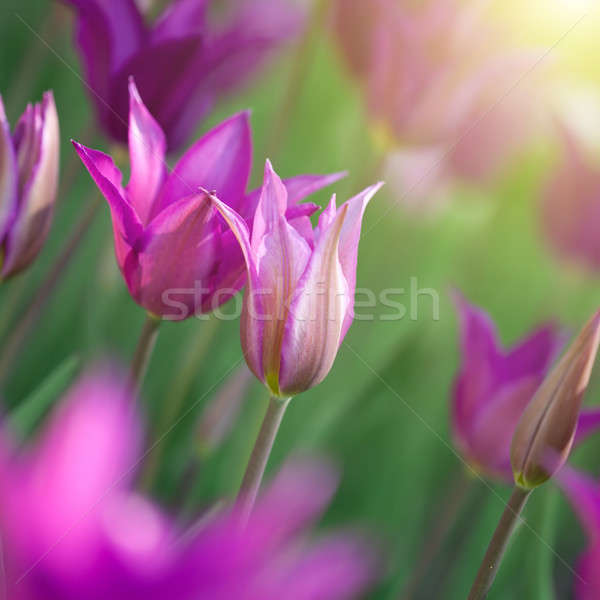 Close up photo of pink tulips with sun beam Stock photo © artjazz