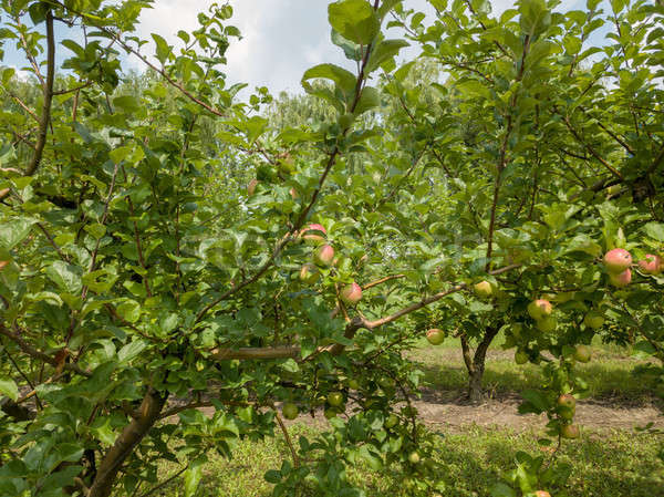 Apple trees with unripe organic fruits in the garden on a sunny  Stock photo © artjazz