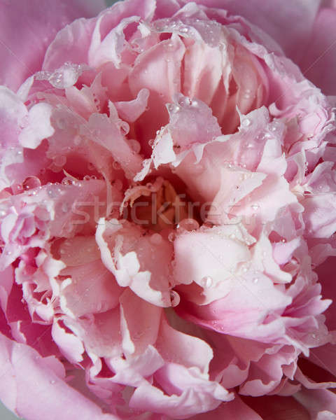 Summer flowers background of a charming pink peony. Stock photo © artjazz