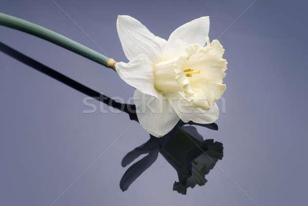 white narcissus on grey background Stock photo © artjazz