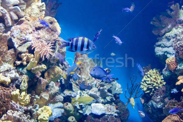 сержант рыбы многие другой коралловый риф солнце Сток-фото © artjazz