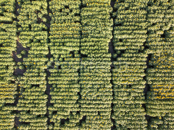 Natural agricultural sunflowers field , aerial view from drone at summer time. Top view. Stock photo © artjazz