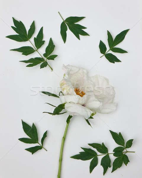 white peony with leaves isolated on white background Stock photo © artjazz