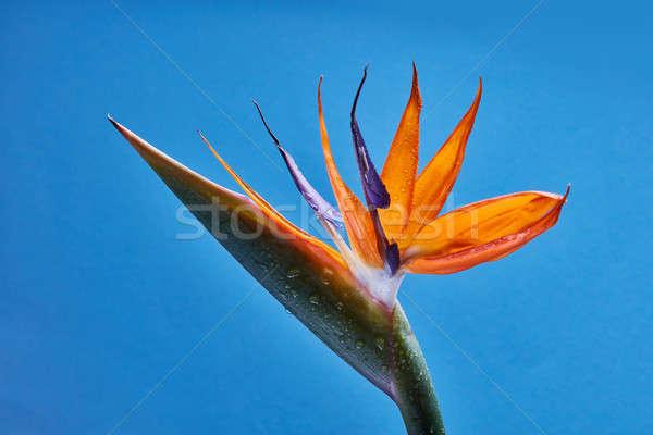Tropical orange flower Strelitzia with green leaves on a blue ba Stock photo © artjazz