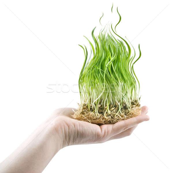 Ludzka ręka zielona trawa ognia biały Zdjęcia stock © artjazz