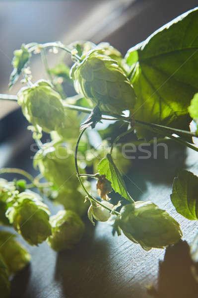 Ramo verde hop maturo Bush foglie verdi Foto d'archivio © artjazz