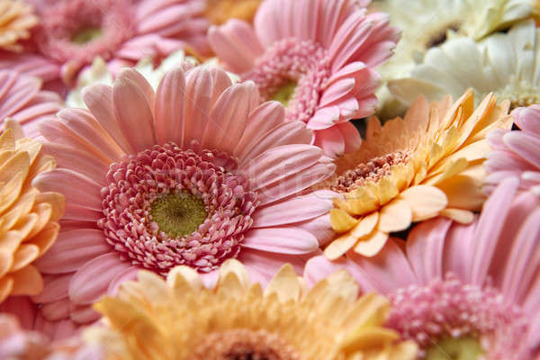floral natural background of gerbera flowers. Spring concept Stock photo © artjazz