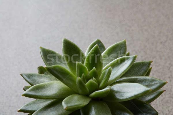 Részletek levelek zöld kaktusz nedvdús beton Stock fotó © artjazz