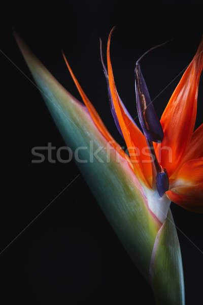 Close up of strelitzia flower isolated on black background Stock photo © artjazz