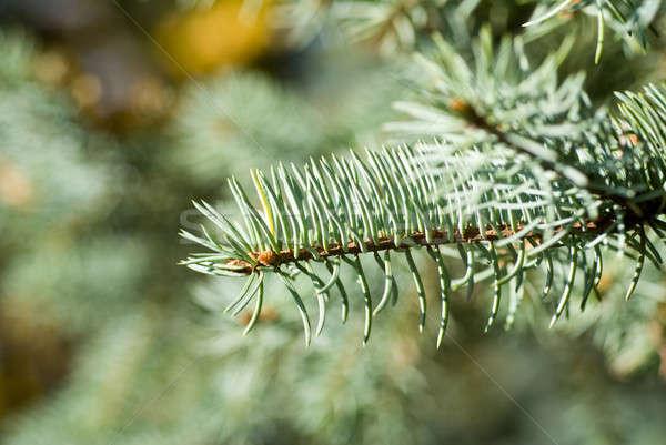 branch of green christmas tree  Stock photo © artjazz
