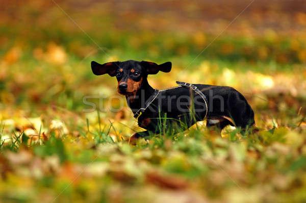 Feliz dachshund perro parque cara pelo Foto stock © artjazz