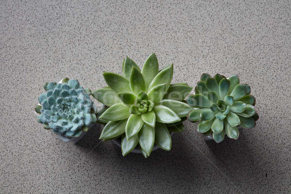 Stock photo: Three flowerpots with different plants Succulents Echeveria