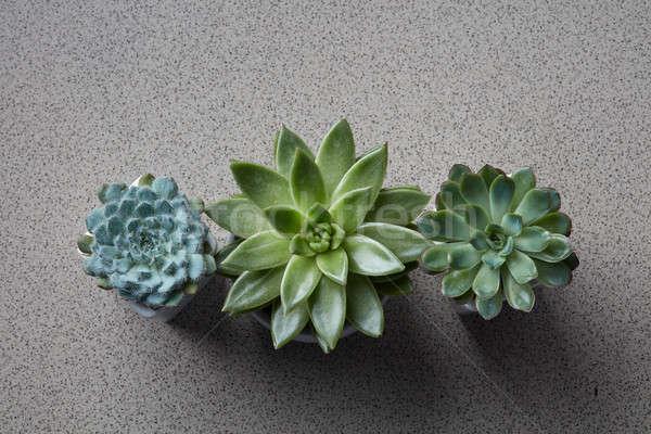 Three flowerpots with different plants Succulents Echeveria Stock photo © artjazz