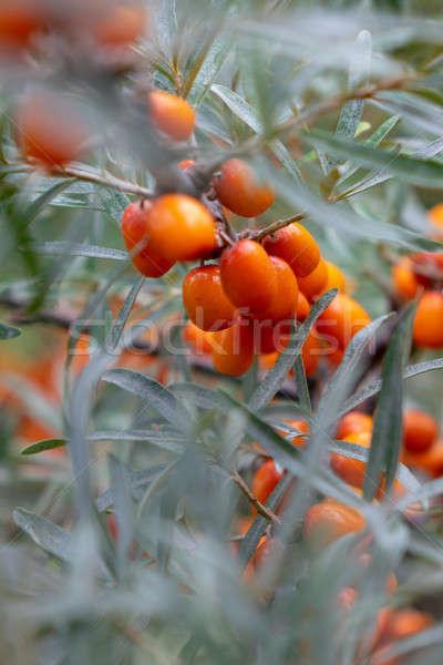 Orange organic sea-buckthorn berries on a tree in the garden Stock photo © artjazz