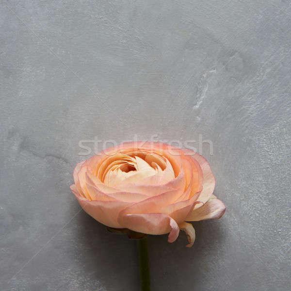 Orange rose over grey Stock photo © artjazz