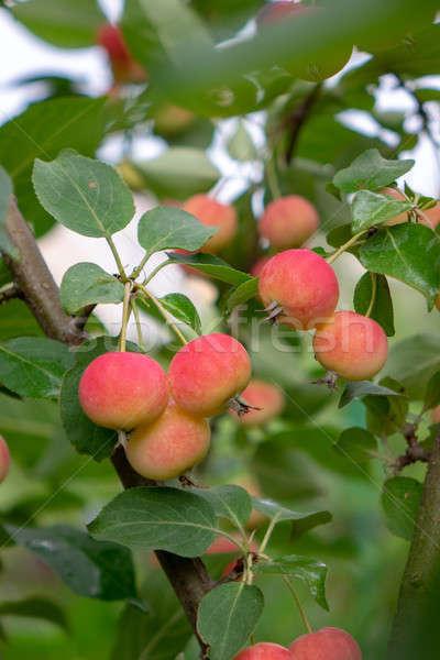 Groene tak klein Rood appels landelijk Stockfoto © artjazz
