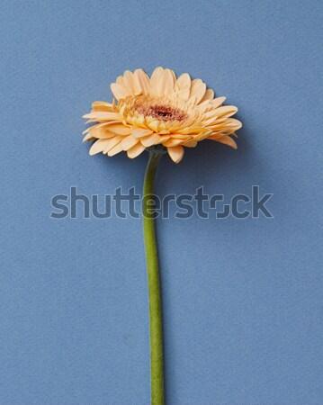 Orange gerbera flower isolated on blue paper background Stock photo © artjazz