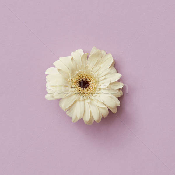 White gerbera flower isolated on a pink background. Spring concept Stock photo © artjazz
