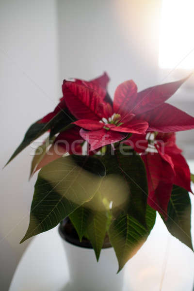 Beautiful red poinsettia on light background. Stock photo © artjazz