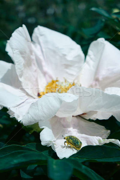 Macro photo of a beautiful white peony bud in the garden Stock photo © artjazz