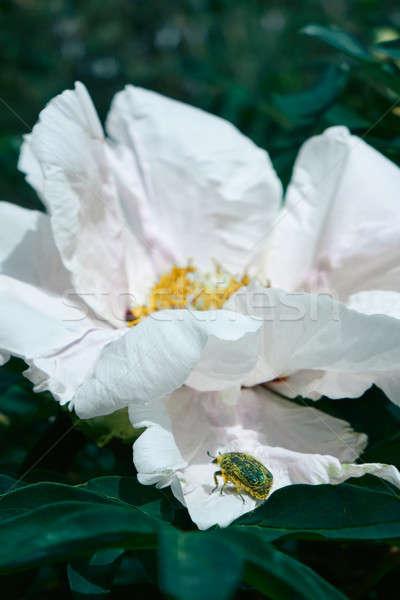 Macro foto hermosa blanco brote jardín Foto stock © artjazz