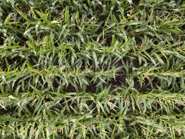 Stok fotoğraf: Doğal · yeşil · alan · mısır · üst · görmek