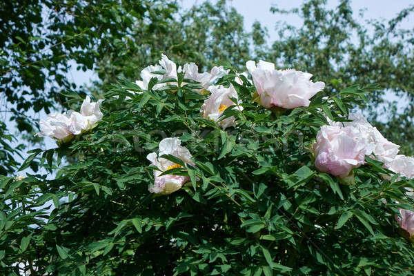 Arbusto flores primavera jardim Foto stock © artjazz
