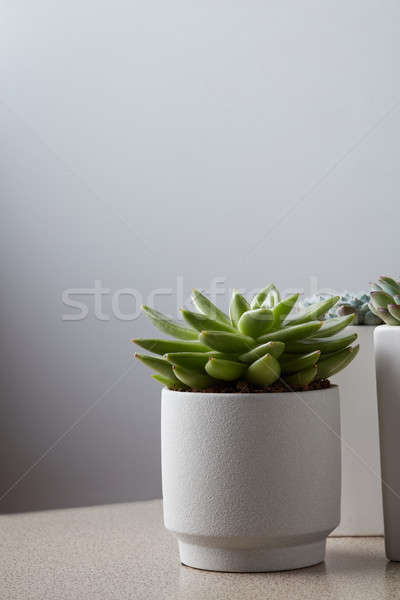 Small plant in pot succulents on gray table Stock photo © artjazz