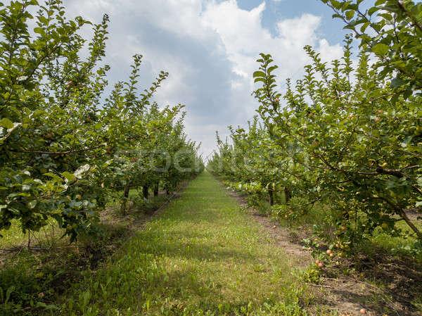 Agrícola pomar de macieiras colheita nublado céu longo Foto stock © artjazz