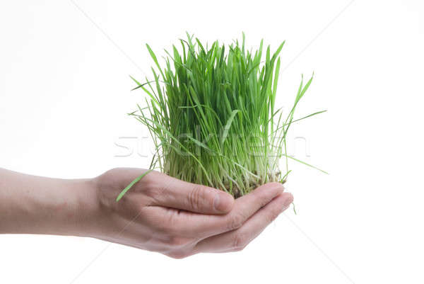 human hand holding green grass on white Stock photo © artjazz