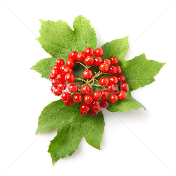 Berries of red Viburnum with leaves isolated on white  Stock photo © artjazz