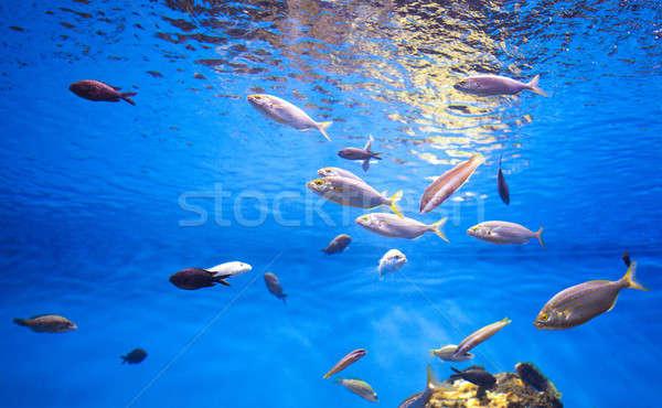Okul ton balığı balık deniz fotoğraf su Stok fotoğraf © artjazz