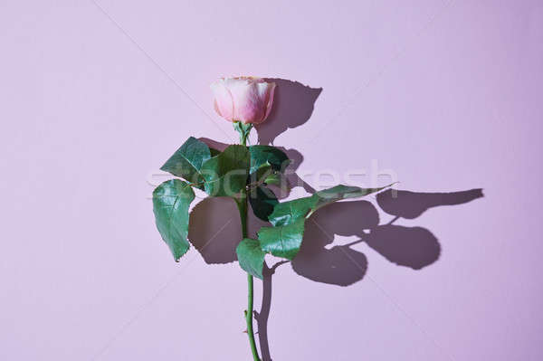 Pink rose with a tight shadow isolated on a violet background Stock photo © artjazz