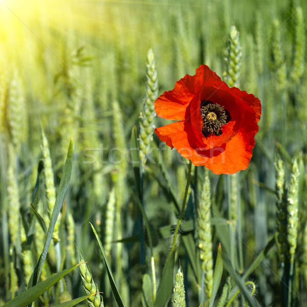 Maku dziedzinie zielone pszenicy trawy liści Zdjęcia stock © artjazz
