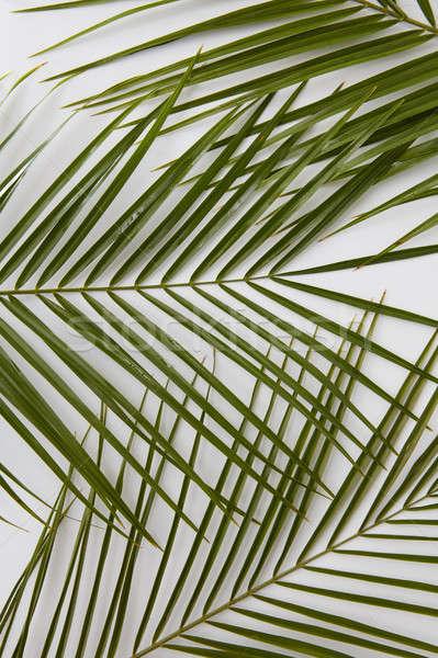 Palm leaves isolated Stock photo © artjazz