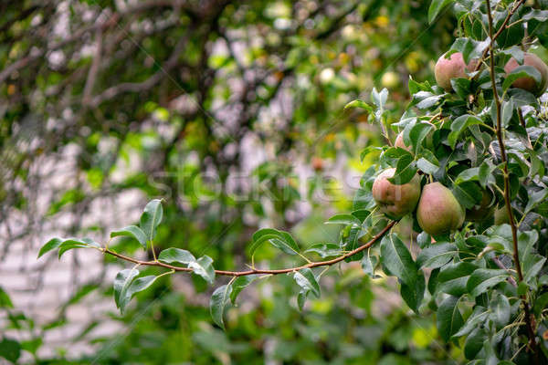 A branch with unripe pears in a fruit summer garden. Healthy foo Stock photo © artjazz