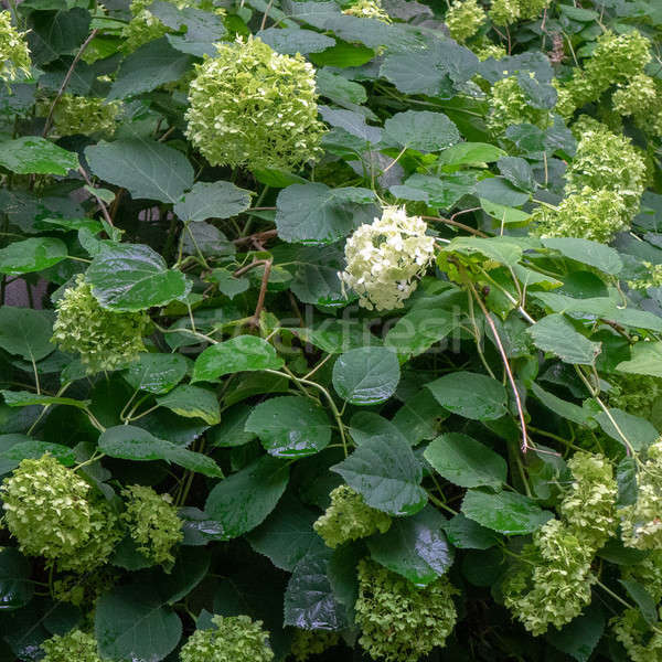 Green bush with flowers hydrangea in the garden. Floral background Stock photo © artjazz