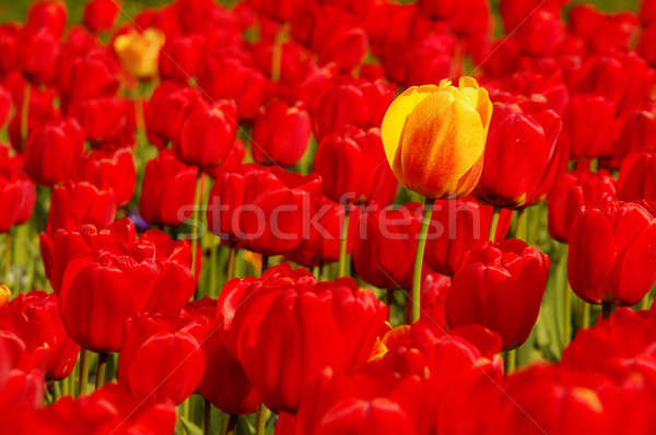 Single yellow tulip in field of red Stock photo © artjazz