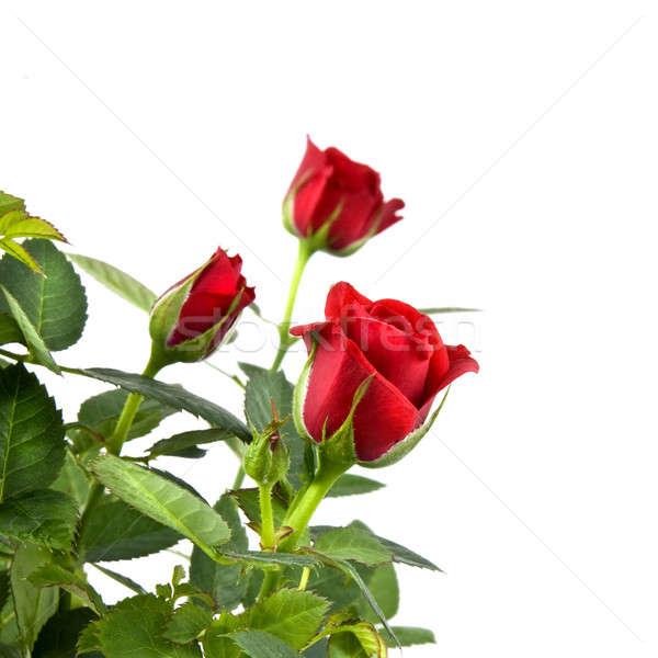 Czerwona róża bukiet odizolowany biały kwiaty ślub Zdjęcia stock © artjazz