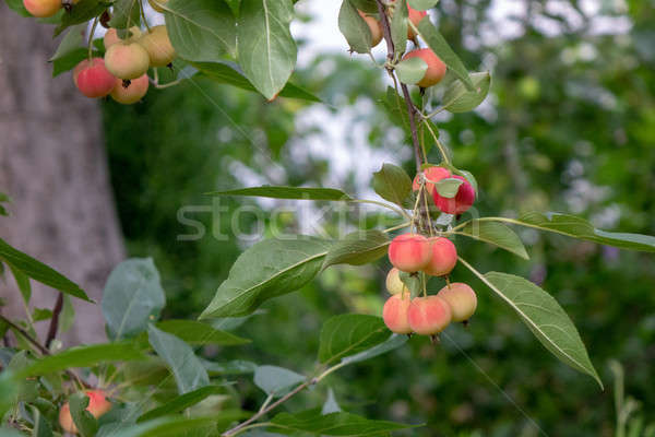 Decorative paradise apples on a green branch in the farm garden. Organic ripe product Stock photo © artjazz