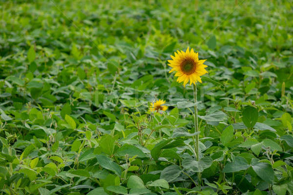 A blossoming sunflower in the country garden. Natural green background Stock photo © artjazz