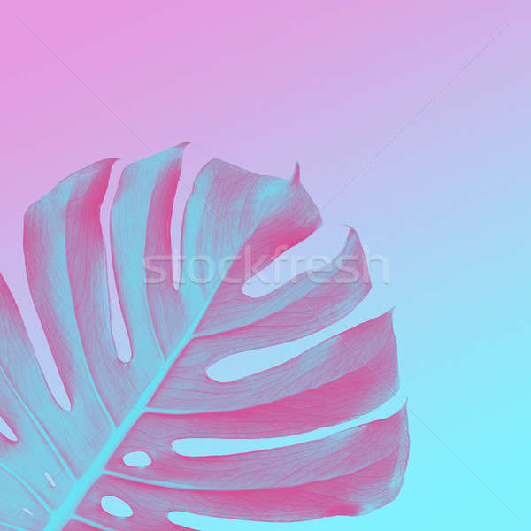 Tropical Jungle Leaves of monsters on a ultra violet, pink and blue duotone background Stock photo © artjazz