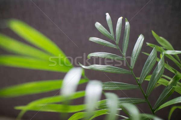 House plant Chamaedorea isolated on a dark background Stock photo © artjazz