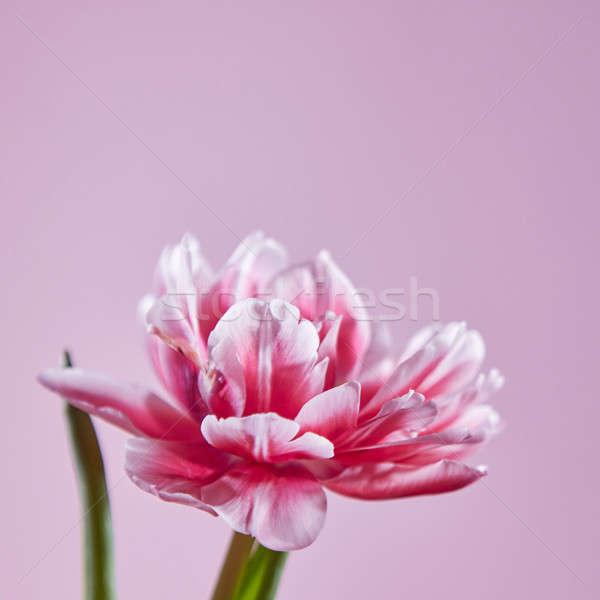 Różowy tulipan Fotografia układ karty Zdjęcia stock © artjazz