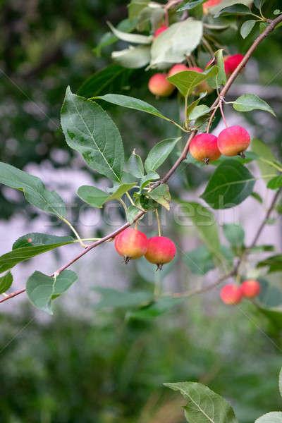 Paradies Äpfel Zweig grüne Blätter Bauernhof Garten Stock foto © artjazz