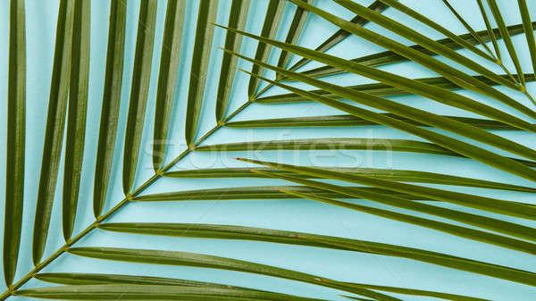 Palmbladeren Blauw groene tak palm Stockfoto © artjazz