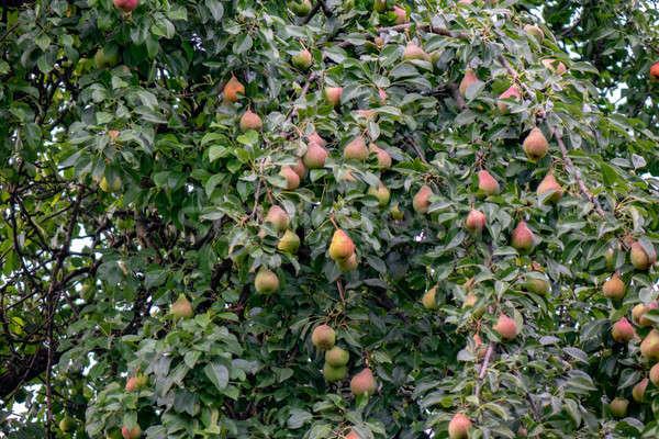 Rural jardim pereira árvore orgânico frutas Foto stock © artjazz