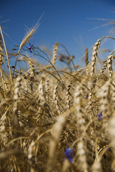 Closeup gold wheat and flowers against blue sky Stock photo © artjazz